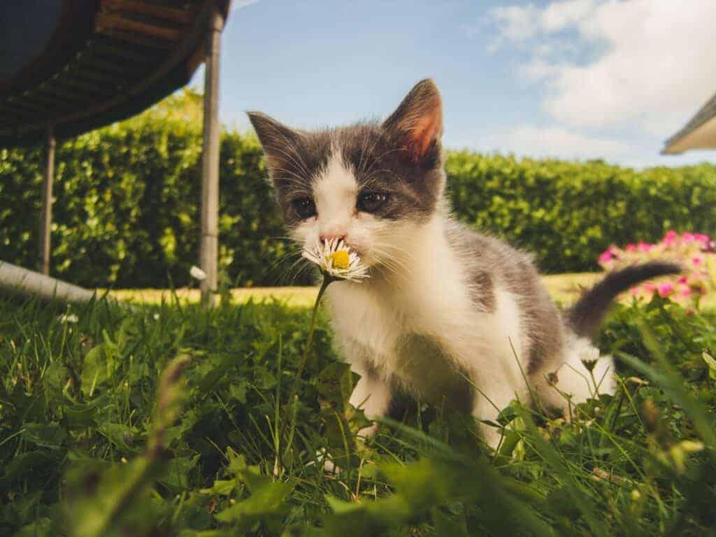 Eine junge Katze riecht an einer Blume